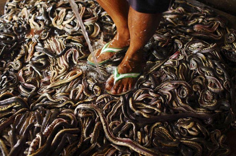 matadouro-cobras-indonesia_004