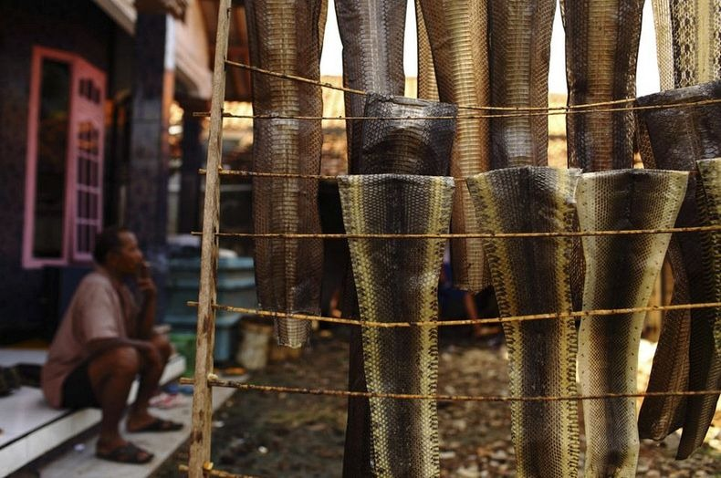 matadouro-cobras-indonesia_011