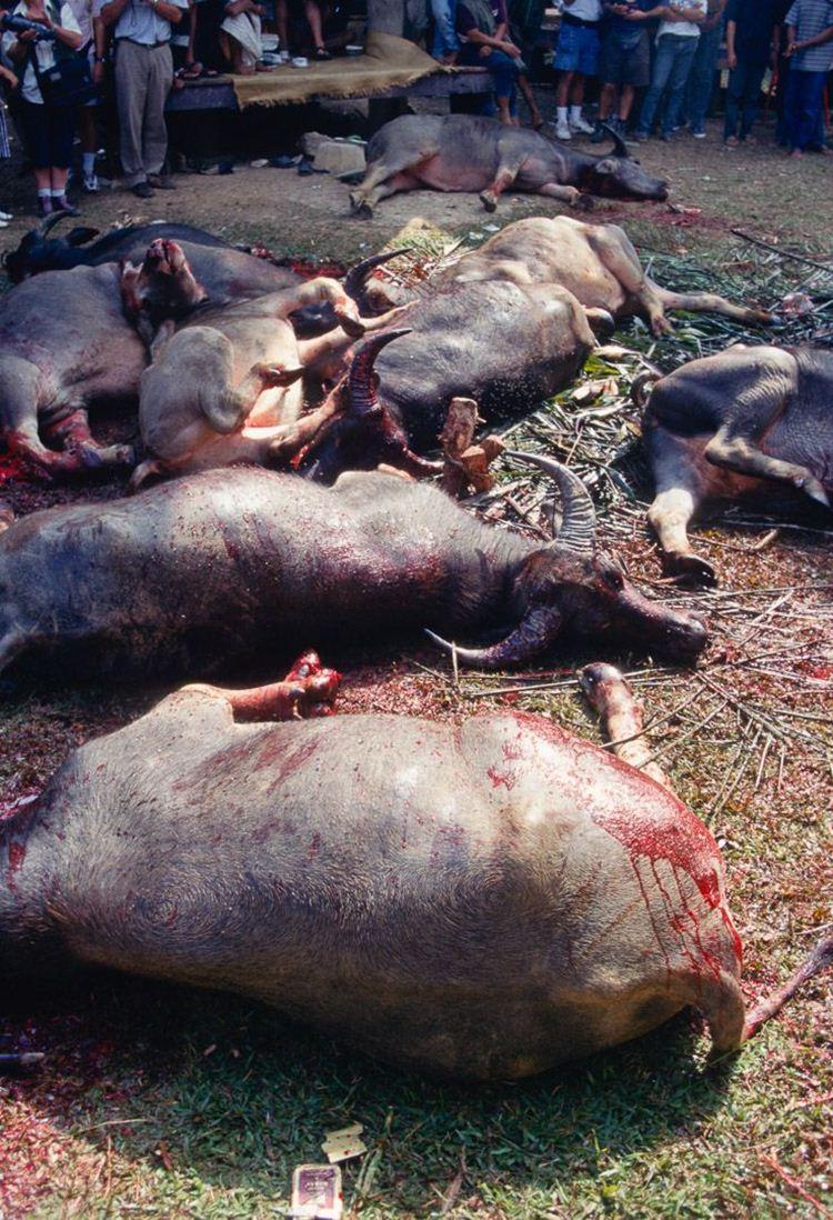 A quantidade de búfalos mortos vai depender da situação financeira da família. Um numero minimo de nove búfalos devem ser abatidos pra que se possa realizar a Festa dos Mortos