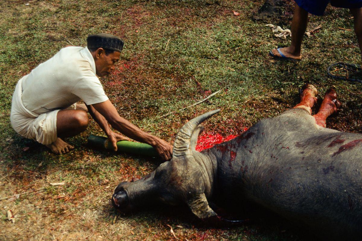 Um bambu é introduzido dentro da jugular do animal para pegar o sangue ainda quente, antes que coagula.