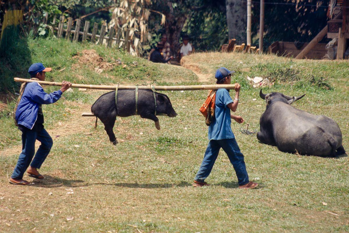 Porcos também são sacrificados