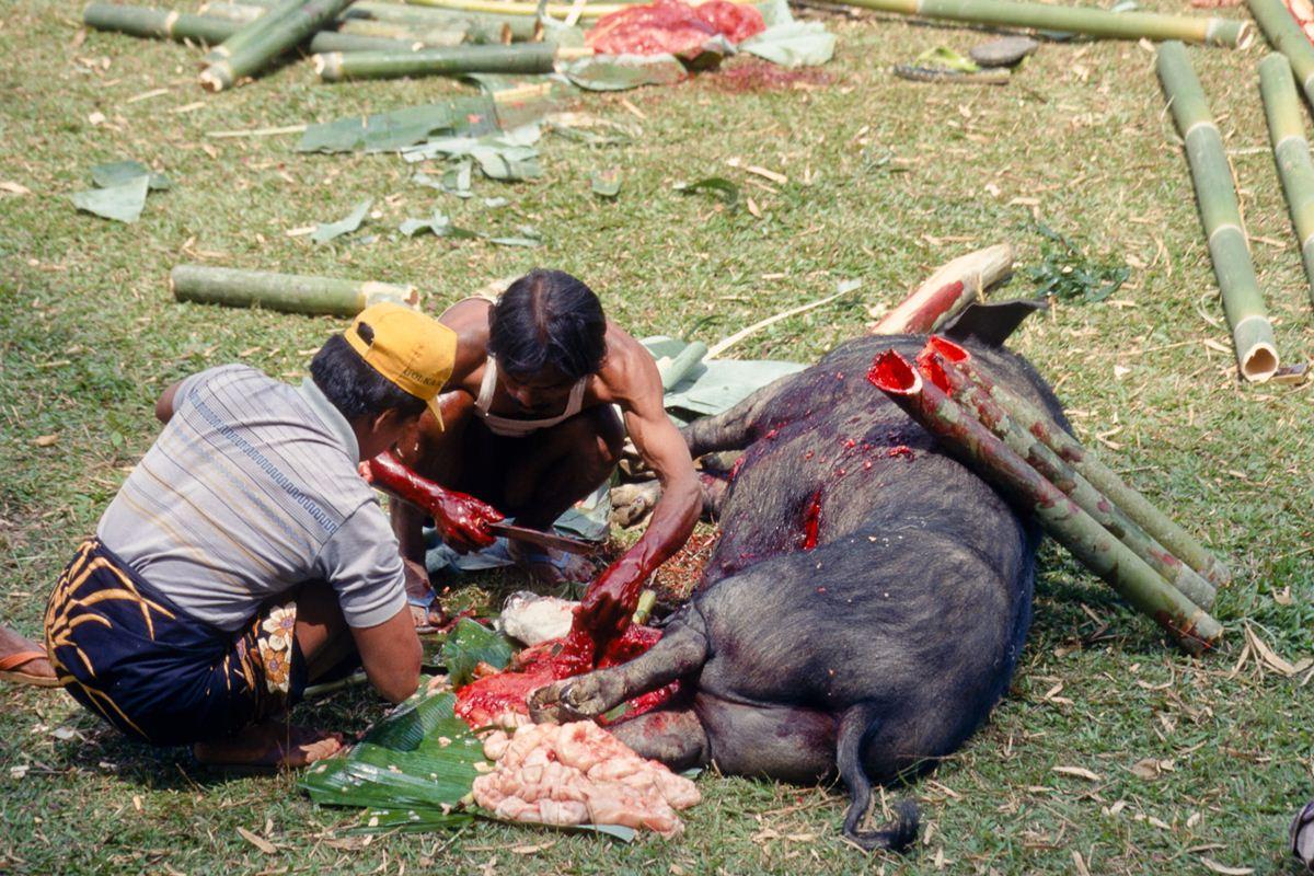 Os porcos abatidos são limpos internamente