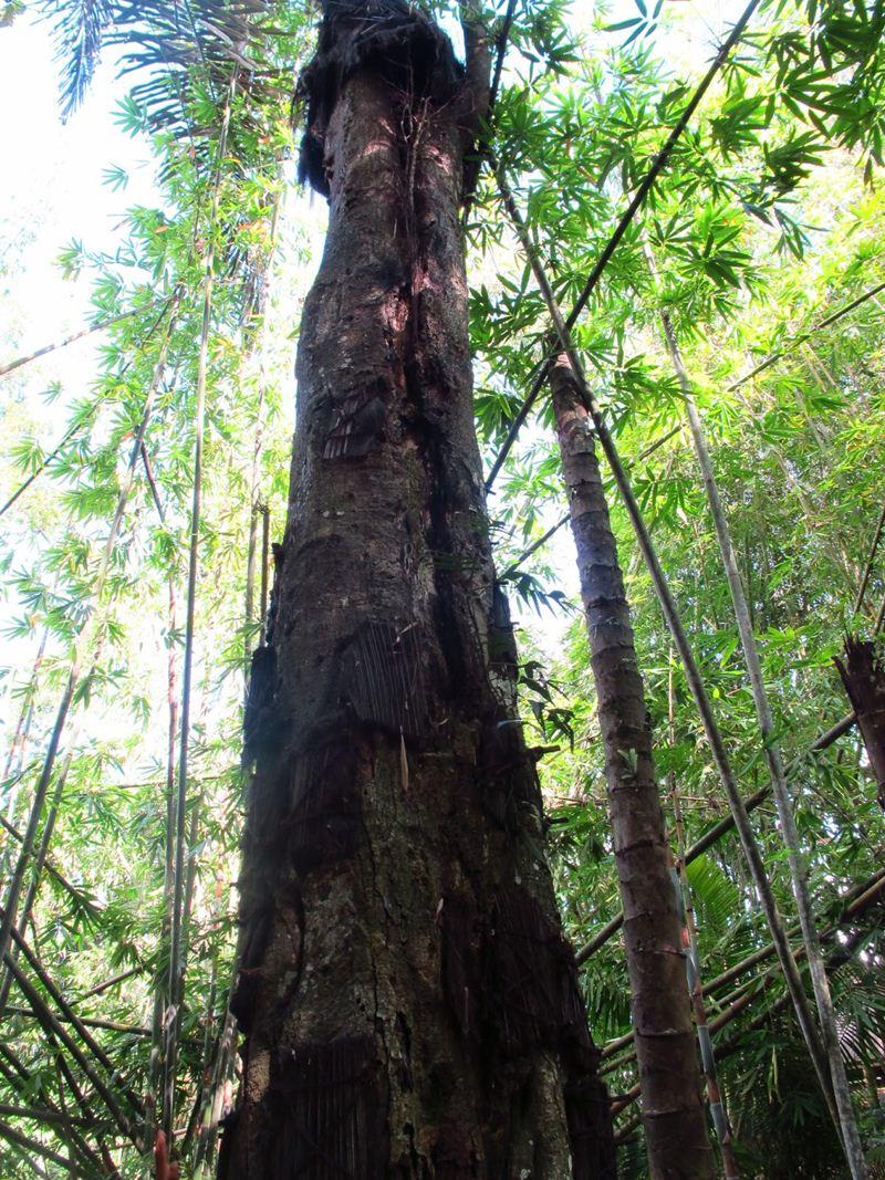 Pohon Tarra, uma árvore usada para sepultar bebês