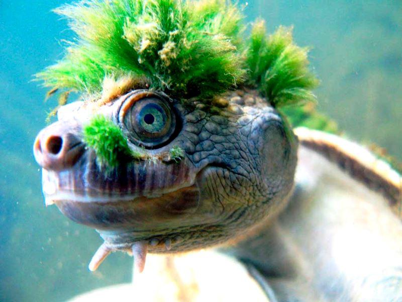 tartaruga-Mary-River_008.jpg