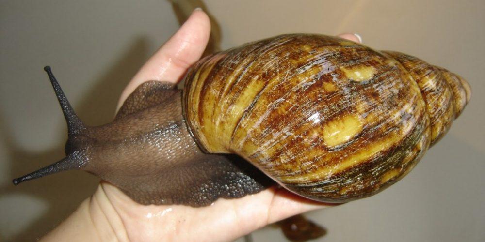 Achatina achatina, o caracol terrestre gigante