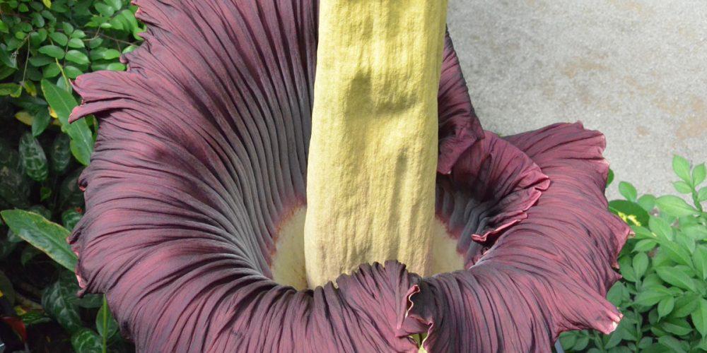 Flor-cadáver, a imensa flor rara e fedorenta