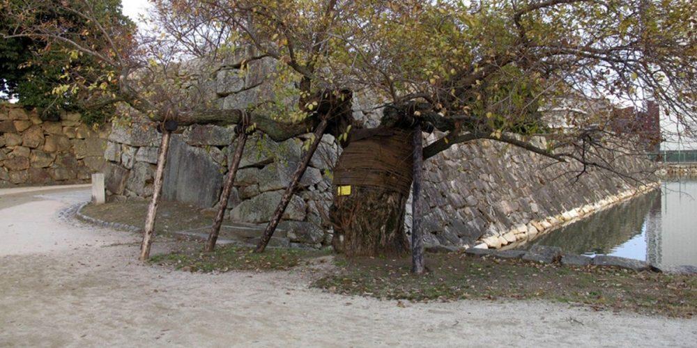Hibaku Jumoku, as árvores sobreviventes de Hiroshima