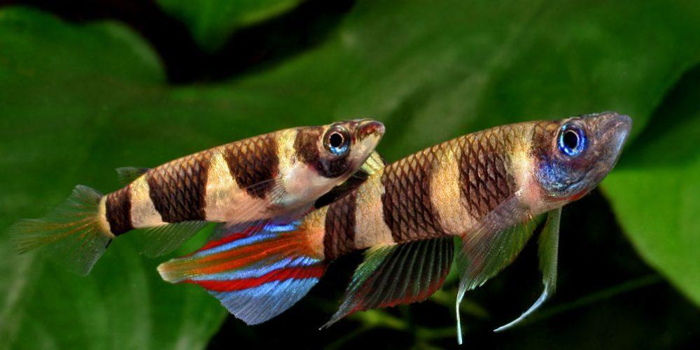 Killifishes, os peixes que vêm do céu