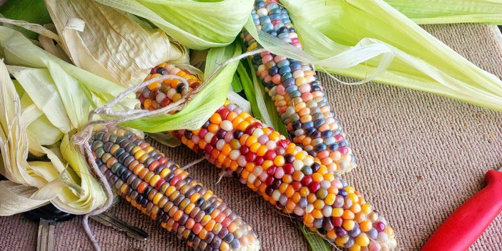 Glass Gem Corn, os milhos multicoloridos