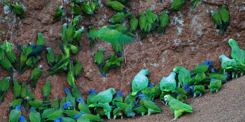 Clay Lick, as encostas de barro que as aves gostam de comer