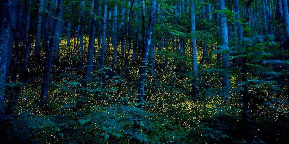 O ritual sincronizado dos vaga-lumes do Tennessee