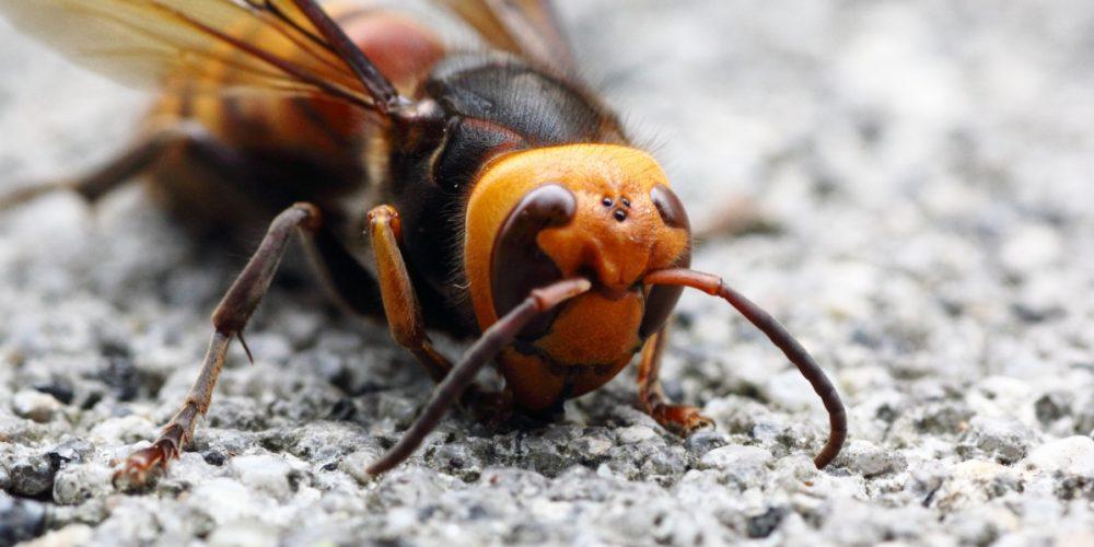 Vespa mandarina, a vespa gigante asiática