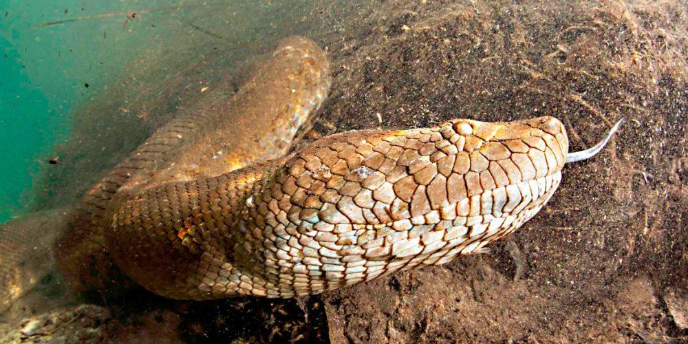 Anacondas e pítons, as grandes cobras do mundo