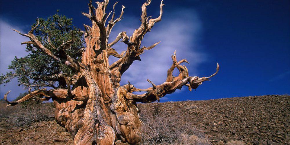 A mais velha, mais alta, mais larga das árvores do mundo