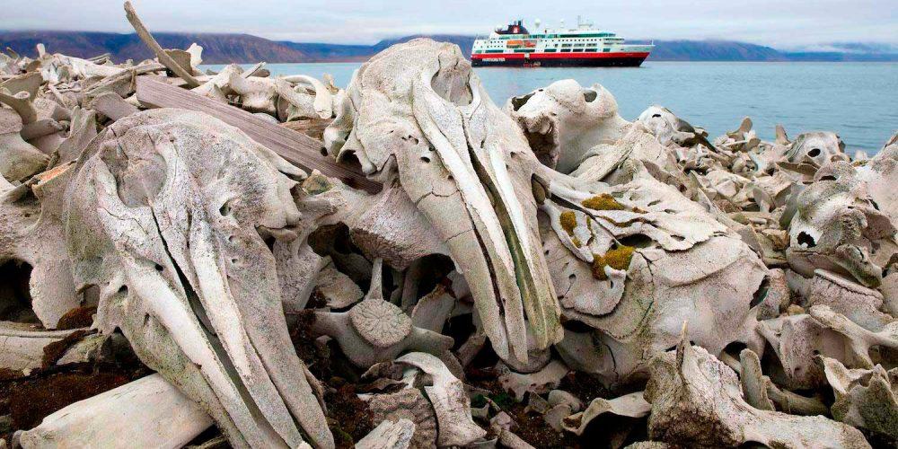 Spitsbergen, cemitério de baleias belugas caçadas pelo homem