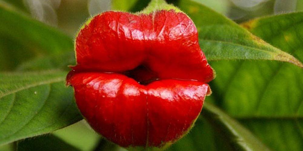 Hot Lips, a flor dos lábios quentes