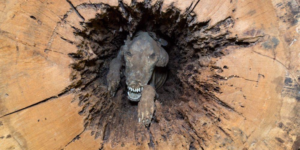 Stuckie, o cão mumificado dentro de uma árvore