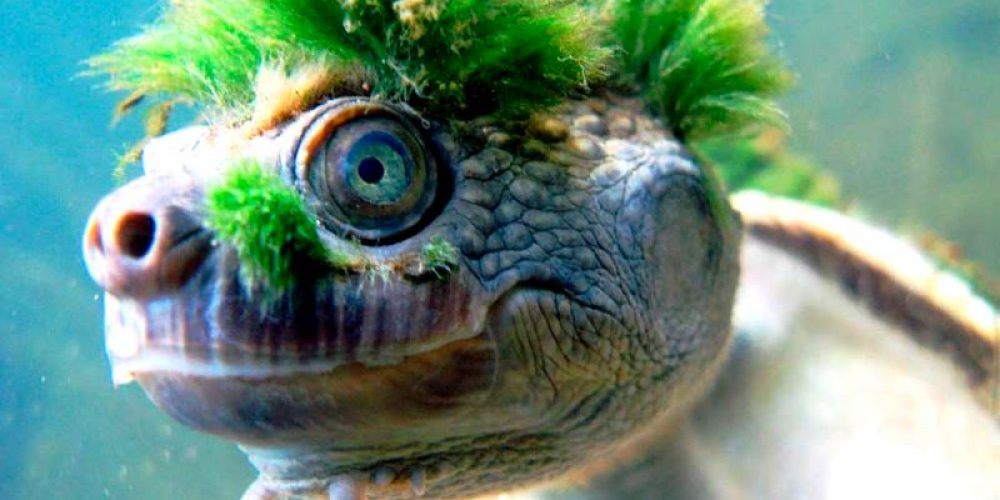 Mary River, a tartaruga cabeluda
